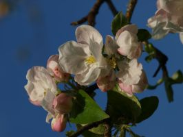 Apple Blossom 10 by botanystock