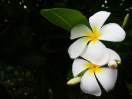 Two little Frangipani by ShutterSerpent