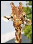 Giraffe 4 by DeadlyDonna