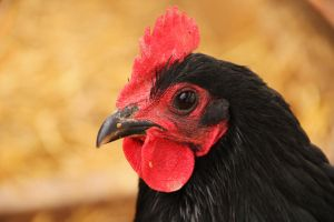 Nugget by 63Biscuit