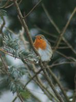 red-breast by marob0501