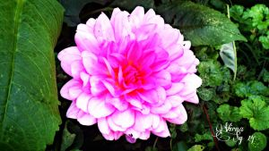 Pretty pink Dahlia by virnagray