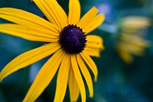 Black Eyed Susan: Blue by aheria