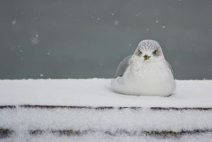 cold gull by suspy