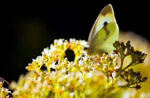 White Butterfly on sedum by halfhandau
