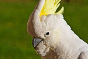 Sulphur Crested Cockatoo 176 by chezem