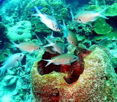Chromis gather by a sponge outlet by g--f