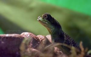 Baby Chinese Water Dragon by ibjennyjenny