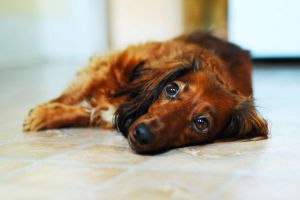 Bleak Dachshund by Sensorium88