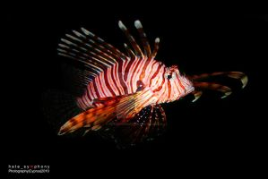 Pterois by hatesymphony