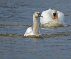 Swans 2014 2 6 by melrissbrook