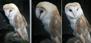 Barn Owl by RaeyenIrael-Stock
