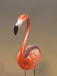 Flamingo Study by Justyne