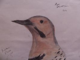 Northern Flicker by wolfgrl1492