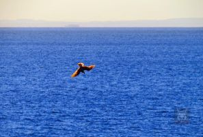 The diving Seagull by wolfwings1