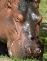 Hungry Hungry Hippo by PixlPhantasy