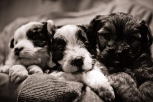 Puppies BnW by TheSoftCollision