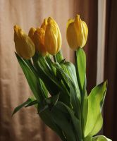 The day of the tulip 4 by akseiya