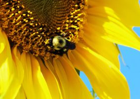 A Bee on a Sunflower by Joe-Lynn-Design
