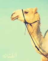 Camel by ZaytoonA
