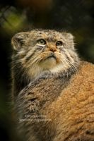 Pallas Cat Profile by Shadow-and-Flame-86