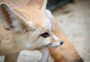 Fennec Fox Stare Down by DeniseSoden
