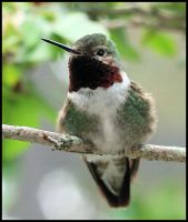 Humming Bird 2 by craftworker