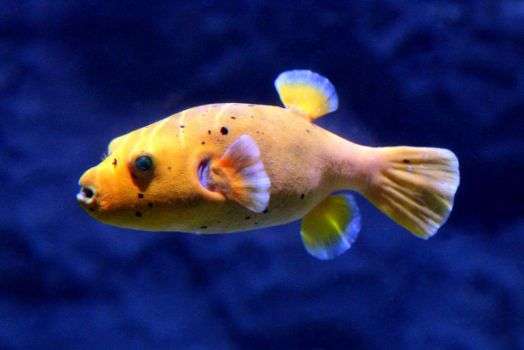 Yellow Puffer Fish by Joker-laugh