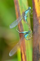 Dragonfly couple by Lydiie