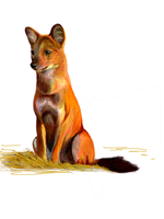 TE Dhole by Joava