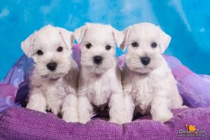 three little white miniature schnauzer puppies by Kirikina