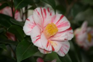 my favourite camellia by ingeline-art