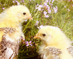 Easter Chickens by Sunima