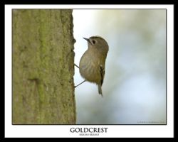GOLDCREST by THEDOC4