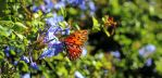 butterfly hanging out on some purple blooms by winterface