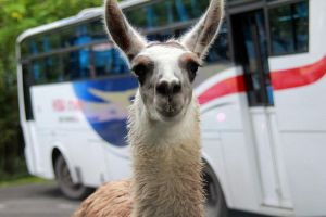 close up look for a lama by MoA07