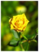 Yellow rose by ccordovez