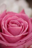 Pink Rose by Citron--Vert