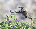 Hummingbird In Flight by fileboy