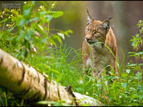 Watchful Lynx by Lupinicious