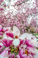Magnolia Blossoms in D.C. by KML032