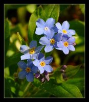 Spring Forget Me Not by Forestina-Fotos