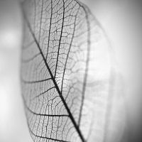 Leaf by franlaurel