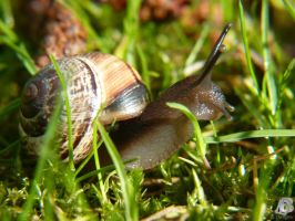 Snail in the grass by IndianRain