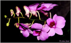 Orchids Of Thailand VII by lukias-saikul