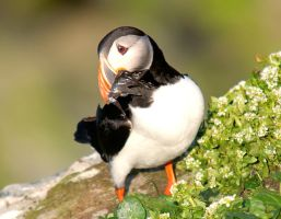 Atlantic Puffin 08 by nordfold