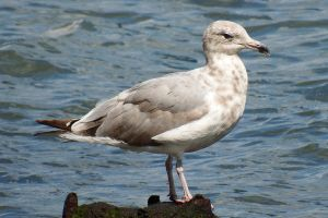 East River gull 1 by wildplaces