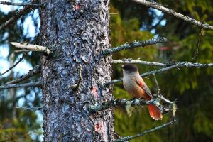 Siberian Jay by Miettinen