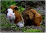 Guinea pig 3 by daantje87