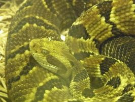 Timber Rattlesnake by AGirlWithDreams96